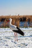 Stork at winter Royalty Free Stock Images