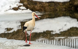 Stork in the winter stock image