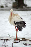 Stork. In winter on snow Stock Photography