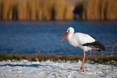 Stork in Winter Royalty Free Stock Images
