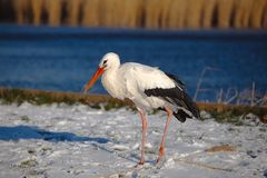 Stork in Winter Stock Image