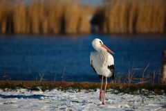 Stork in Winter Royalty Free Stock Photography