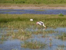 Stork in the Yala national park Stock Photo