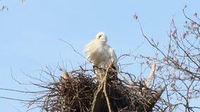 Stork yawning stock footage
