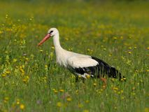 Stork and yellow flowers Royalty Free Stock Photography