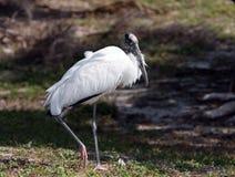 stork2木头 库存图片