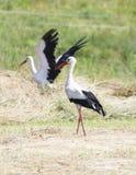 Storkar Arkivfoton