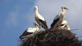 Storkar bygga bo p? en Pole, f?gelfamiljen som bygga bo, flocken av storkar i himmel, natursikt arkivbilder