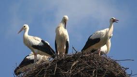 Storkar bygga bo p? en Pole, f?gelfamiljen som bygga bo, flocken av storkar i himmel, natursikt royaltyfria bilder