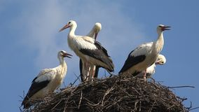 Storkar bygga bo p? en Pole, f?gelfamiljen som bygga bo, flocken av storkar i himmel, natursikt fotografering för bildbyråer