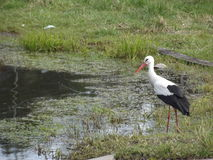 Storkar flög Royaltyfri Foto