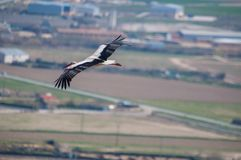 Storkar i deras naturliga livsmiljö arkivfoton