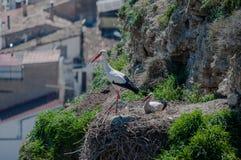 Storkar i deras naturliga livsmiljö royaltyfria foton