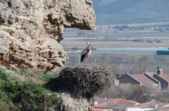 Storkar i deras naturliga livsmiljö arkivfoto