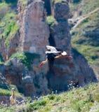 Storkar i deras naturliga livsmiljö arkivbild