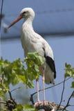 Storkar i farnen Arkivfoton
