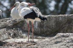 Storkar i farnen Fotografering för Bildbyråer