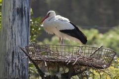 Storkar i farnen Arkivbild