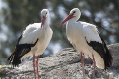 Storkar i farnen Royaltyfri Foto