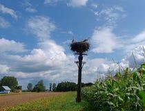 Storkar i natur arkivfoto