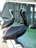 Storkar Key Biscayne Arkivfoto