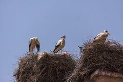 Storkar som bygga bo på ett tak i Marrakesch Royaltyfri Fotografi