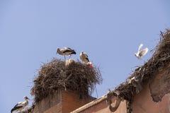 Storkar som bygga bo på ett tak i Marrakesch Royaltyfria Foton
