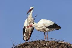 Storkar som bygger deras rede Arkivbilder