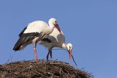 Storkar som bygger deras rede Fotografering för Bildbyråer
