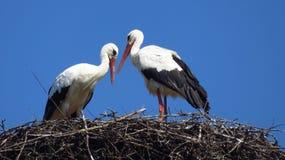 Storkar som bygger ett rede royaltyfri foto