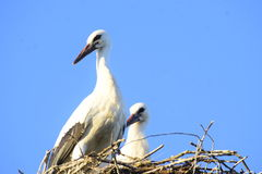 Storken är ett symbol av Vitryssland Royaltyfri Fotografi