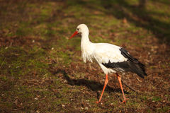 Storken Royaltyfri Fotografi