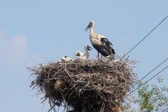 Storken bygga bo in royaltyfri foto