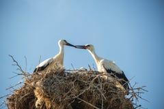 Storken med behandla som ett barn fåglar i redet Royaltyfri Foto