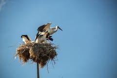 Storken med behandla som ett barn fåglar i redet Arkivfoton