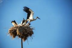 Storken med behandla som ett barn fåglar i redet Royaltyfria Foton