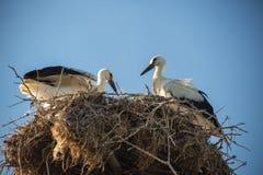 Storken med behandla som ett barn fåglar i redet Royaltyfri Fotografi