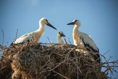 Storken med behandla som ett barn fåglar i redet Royaltyfria Bilder