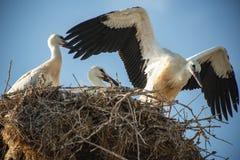 Storken med behandla som ett barn fåglar i redet Arkivfoto