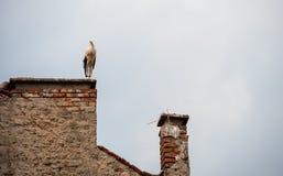 Storken med behandla som ett barn fåglar i redet Arkivbilder