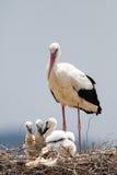 Storken med behandla som ett barn fåglar i redet, Ciconiaciconia Arkivbild