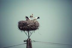 Storken med behandla som ett barn fåglar i redet, Polen Royaltyfri Bild