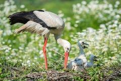 Storken med behandla som ett barn valpen i dess rede på tusenskönan Royaltyfria Foton