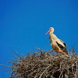 Storken och bygga bo arkivfoton