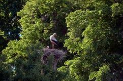 Storken sitter i ett rede på en hög pelare Royaltyfria Foton