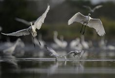 Storken tog av och flyga tillsammans arkivfoton