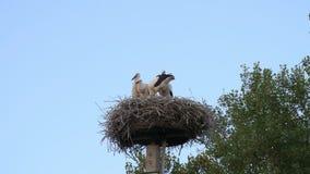 Storkfamiljen, stork behandla som ett barn, 4k, 50fps stock video