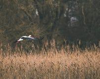 Storkflyg Arkivfoto