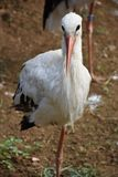 Storkin branco adulto um campo imagens de stock