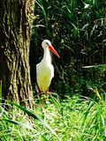Storking. A stork lurking behind a tree Stock Image